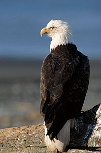 Bald eagle portrait. Alaska, USA  -  Lynn M Stone