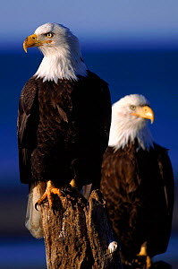 Bald eagles. Alaska, USA  -  Lynn M Stone