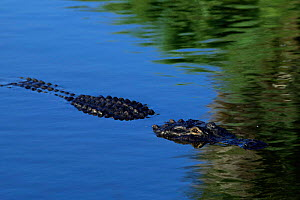 American alligator at water surface, Florida, USA (Alligator mississippiensis)  captive  -  Lynn M Stone
