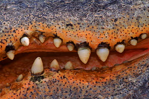 American alligator (A. mississippiensis) teeth. C. PY, USA. Pennsylvania  -  Niall Benvie