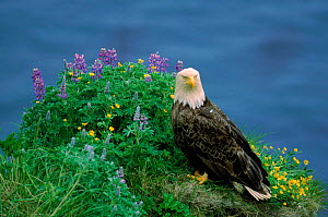 American bald eagle with flowers, Alaska  -  Lynn M Stone