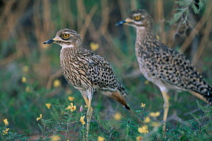 Nocturnal spotted stone curlews / Cape dikkop {Burhinus capensis} resting during day, Kalahari, Gemsbok NP, South Africa. - Richard Du Toit
