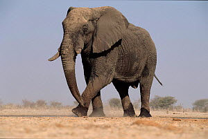 African elephant walking. Etosha National Park, Namibia  -  Tony Heald