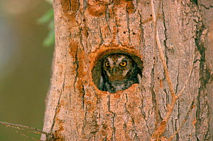 Elf owl (Micrathene whitneyi) looking out of nest hole Texas USA - Mike Wilkes