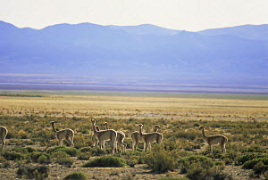 Group of Vicunas in Andes altiplano (Lama Vicugna) NW Argentina. Vulnerable habitat. Endangered  -  Ross Couper-Johnston