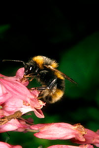 Bumblebee foraging on Dicentra flower, UK - John B Free