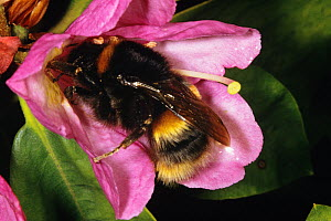 Bumble bee (Bombus terrestris) queen on rhododendron flower, UK - John B Free