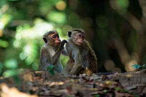 Young female toque macaques grooming (Macaca sinica) Sri Lanka  -  Chris Taylor