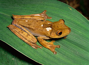 Map tree frog (Hyla geographica) Amazonian Ecuador, South America - MORLEY READ