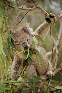 Koala bear eating gum leaves, Australia  -  John Cancalosi