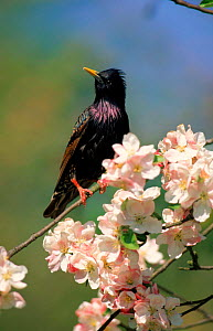 Common starling perched amongst blossom. England, Europe  -  John Cancalosi