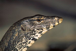Asian water monitor lizard head profile portrait(Varanus salvator) Malaysia, Sipidan. - Georgette Douwma