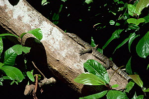 Asian water monitor lizard (Varanus salvator) climbing tree, Kinabatangan flood plain, Sabah, Malaysia - Georgette Douwma