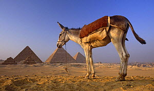 Domestic donkey {Equus asinus} with ancient pyramids of Giza in background, Egypt - John Downer