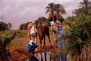 Bedouins at oasis with dromedary camels, Sahara, Morocco - Jason Venus
