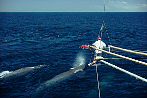 Testing suction devise as a possible method for attaching equipment to whales. Sperm whales, Galapagos 1994  -  Kit Rogers