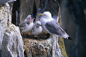 Kittiwake with two chicks at nest on cliff. (Rissa tridactyla) Scotland, Isle of May  -  Pete Oxford