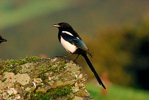 Magpie (Pica pica) perched on stone, Wales, UK.  -  Mike Wilkes