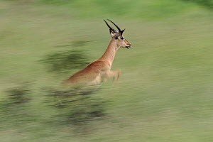 Male Impala running in Kruger National Park, South Africa. Impala can run at speeds of 50mph!  -  Richard Du Toit