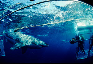 Great white shark with divers filming from protective cage.  South Australia. Model released.  -  Jeff Rotman