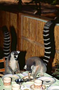 Ring tailed lemurs (Lemur catta) foraging on dinner table for tourists leftovers, Berenty Private Reserve, Madagascar  -  Pete Oxford