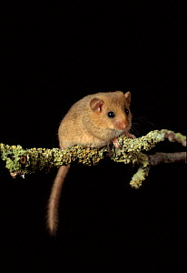 Dormouse. UK. Captive animal - Colin Seddon