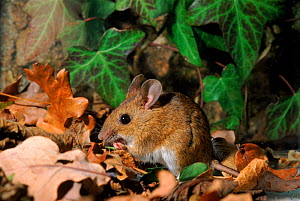 Wood mouse (Apodemus sylvaticus) UK C  -  Andrew Harrington