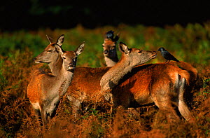 Red deer hinds with crows, Scotland  -  John Cancalosi