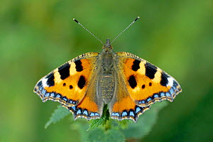 Small tortoiseshell butterfly just emerged from pupa (Aglais urticae) UK  -  WILLIAM OSBORN
