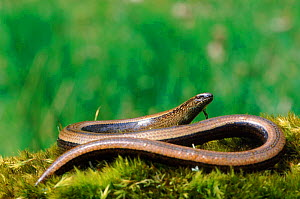 Slow worm (Anguis fragilis) sunbathing on moss. UK  -  WILLIAM OSBORN