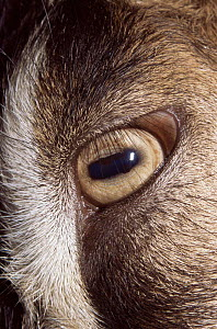 Close up of eye of Domestic goat (Capra hircus)  -  Artur Tabor