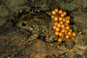 Male Midwife toad (Alytes obstetricans) carrying eggs. Germany  -  Hans Christoph Kappel