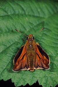 Silver spotted skipper butterfly resting on leaf, Germany - Hans Christoph Kappel