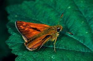 Silver-spotted skipper butterfly on leaf, Germany - Hans Christoph Kappel