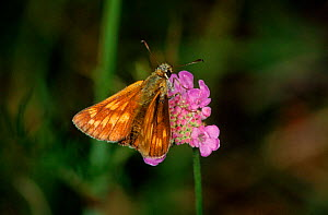 Silver spotted skipper butterfly,  Germany - Hans Christoph Kappel