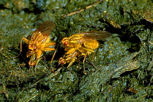 Dungflies (Scatophaga stercoraria) mating on cow dung. UK - Duncan Mcewan