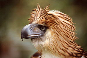 Monkey eating (Philippine) eagle head portrait - Neil Lucas