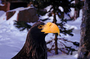 Steller's sea eagle head portrait  -  Neil Lucas