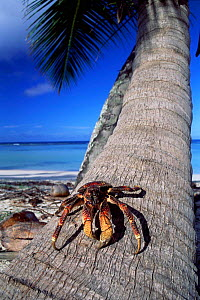 Coconut crab (Bigrus latro) on tree trunk, Aldabra, Seychelles.  -  Pete Oxford