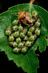 Parent bug with young nymphs on birch leaf, UK  -  Duncan Mcewan