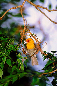 Male Sakalava weaver building nest, Ankarana Reserve, Madagascar  -  Pete Oxford
