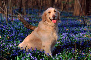 Domestic Dog, Golden Retriever (Canis familiaris) among bluebells, USA  -  Lynn M Stone