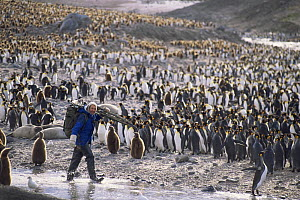 Cameraman Mike Richards carrying filming gear through  King penguin rookery. On location for BBC series Life in the Freezer, St Andrews Bay, South Georgia 1992  -  Peter Bassett