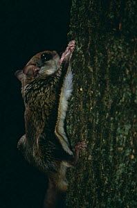 Southern flying squirrel {Glaucomys volans} climbing tree trunk, Canada.  -  Phil Savoie