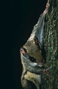 Southern flying squirrel climbing tree {Glaucomys volans} Canada.  -  Phil Savoie
