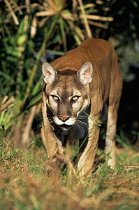 Florida panther (Felis concolor) Florida, USA captive - Lynn M Stone