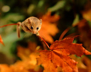 Dormouse (Muscardinus avellanarius) in autumn. Sweden September. - Bengt Lundberg