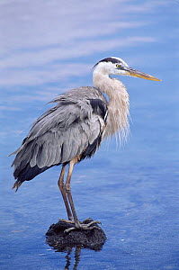 Great Blue Heron, Galapagos Islands  -  Pete Oxford