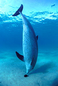 Bottlenose dolphin (Tursiops truncatus) plays with sea cucumber, Red Sea  -  Jeff Rotman
