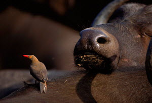 Red billed oxpecker looking for insects on Buffalo. Mala Mala GR, South Africa.  -  Richard Du Toit